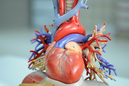 heart model  Stock Photo - 17765645