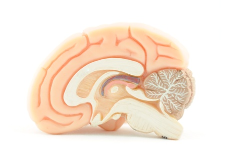human brain Stock Photo - 17764623