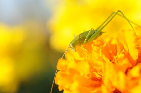 close up to grasshopper on yellow flower  photo
