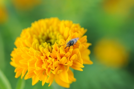 close up to honey bee on yellow flower  photo