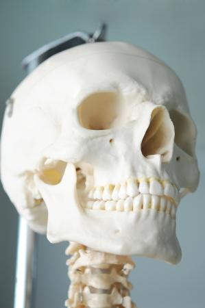 human skull Banco de Imagens - 17765570