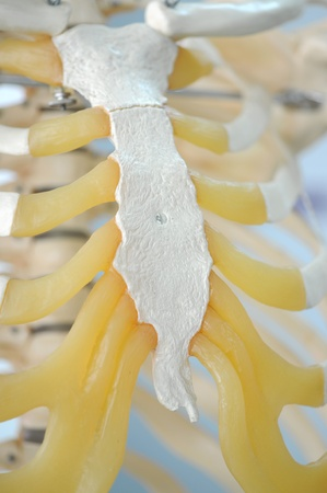 rib: anatomy of rib Stock Photo