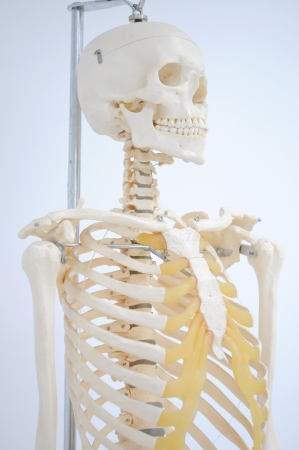 anatomy of rib Stock Photo - 17765414