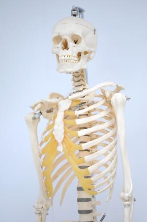 anatomy of rib Stock Photo - 17765550