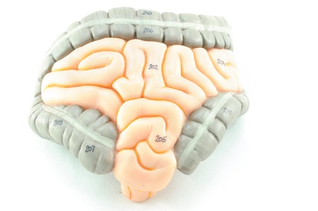 anatomy of intestine Stock Photo - 17764639
