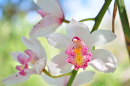 anther: white orchid Stock Photo