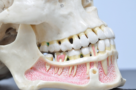 mandible: close up to human teeth anatomy