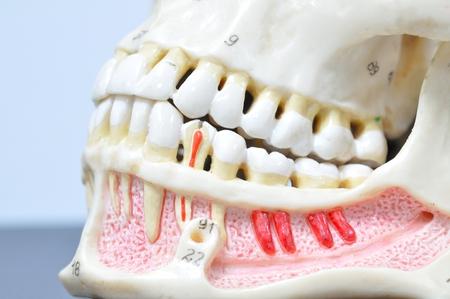 close up to human teeth anatomy photo