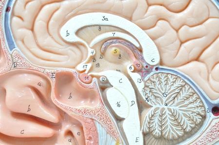 oblongata: close up to human brain Stock Photo