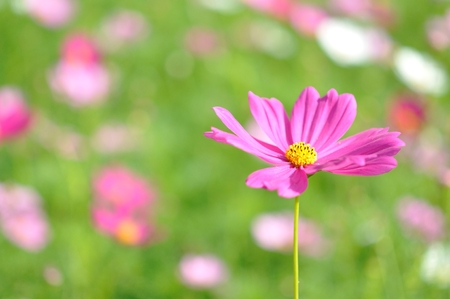 close up to cosmos flower