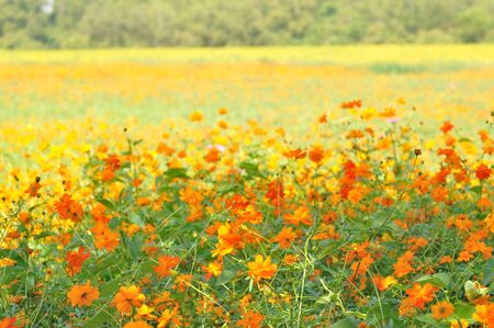field of yellow cosmos flower photo