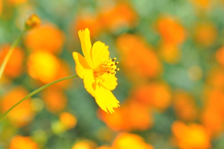 close up to yellow cosmos flower photo