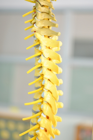 spinal adjustment: back bone of human