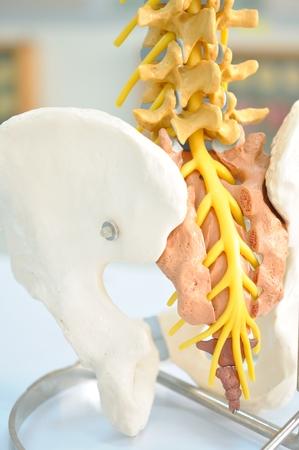 spinal adjustment: back bone of human