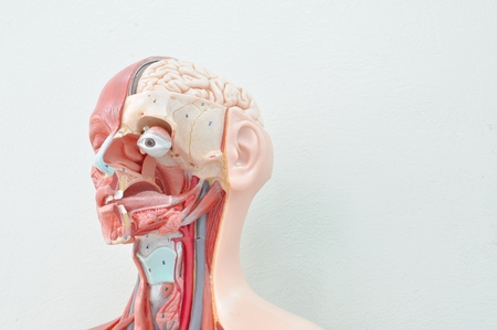 human bodies: human anatomy model Stock Photo