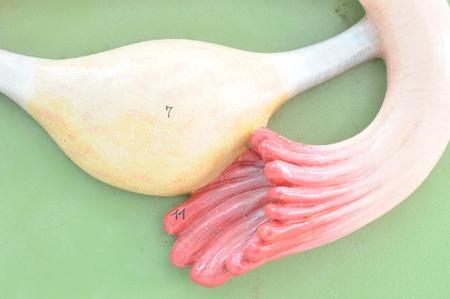 semen: close up to uterus Stock Photo