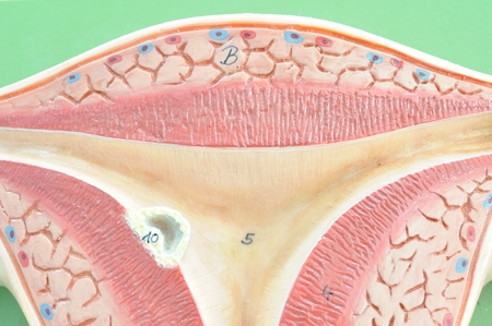 fertilisation: close up to uterus Stock Photo