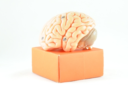 medulla: brain and box