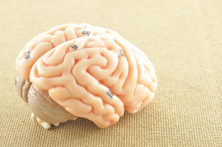 human brain model photo
