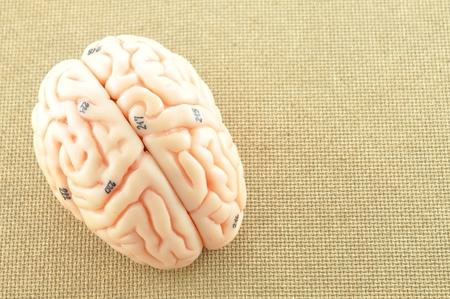 hypothalamus: human brain model