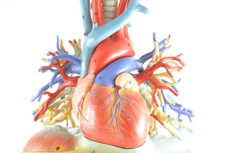 anatomy muscles: human heart model