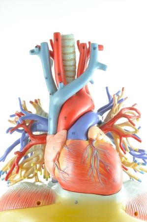 human heart model Banco de Imagens - 36247876