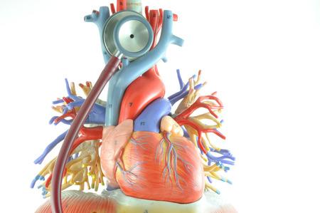palpitations: human heart model