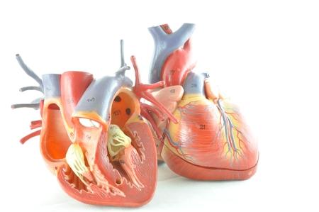 anatomy muscle: human heart