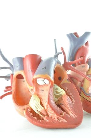 human artery: human heart