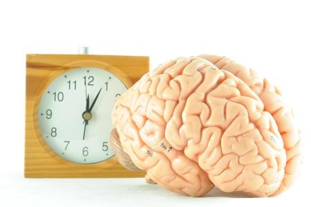 hypothalamus: human brain model and clock