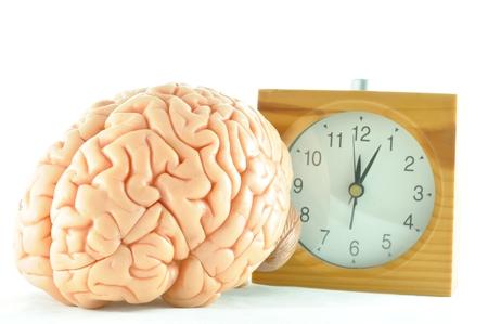 human brain model and clock photo