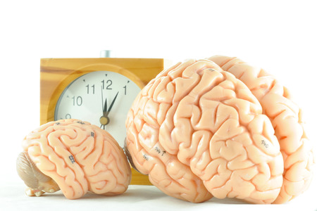 medulla: human brain model and clock