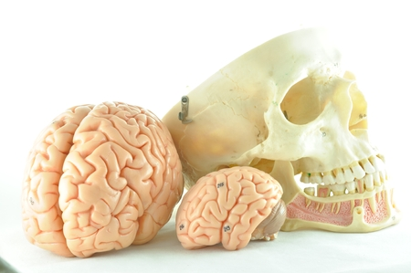 pons: human brain and skull model Stock Photo
