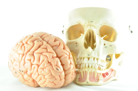 human brain and skull model photo