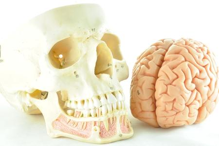 hypothalamus: human brain and skull model Stock Photo