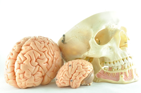 medulla: human brain and skull model Stock Photo