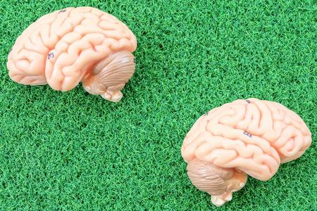 oblongata: human brain model on green grass background