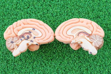 pons: human brain model on green grass background
