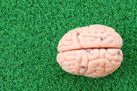 pons: human brain model on green grass background