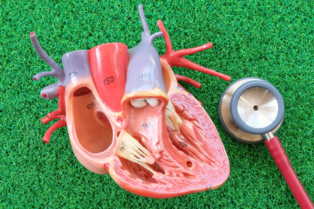 human heart model on green grass background