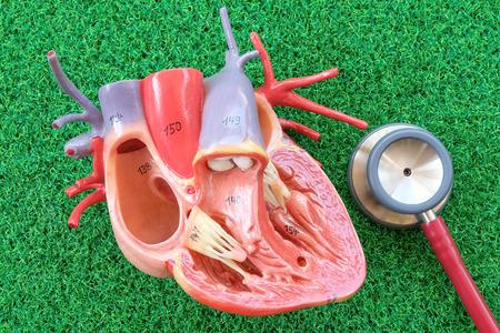 human heart anatomy: human heart model on green grass background