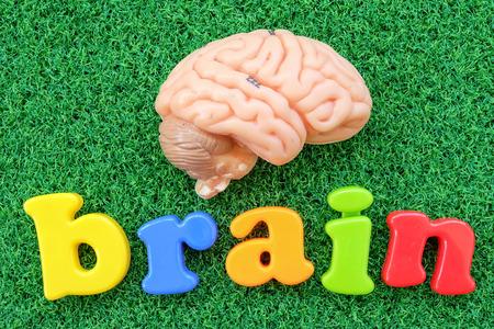 oblongata: brain model on green grass background Stock Photo