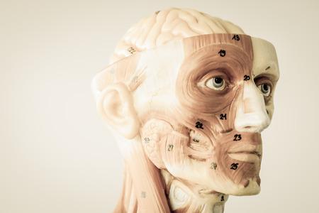 anatomia humana: modelo de la anatomía humana con el viejo estilo Foto de archivo