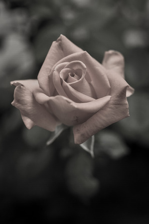 beautiful rose: hermosa flor rosa con estilo vintage