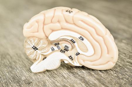 thalamus: human brain with vintage style