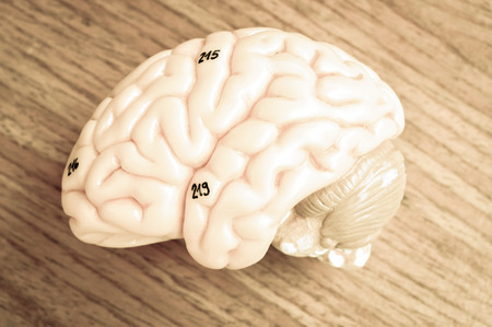 thalamus: human brain model with old color style Stock Photo