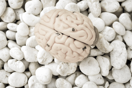 hypothalamus: human brain model with old color style Stock Photo
