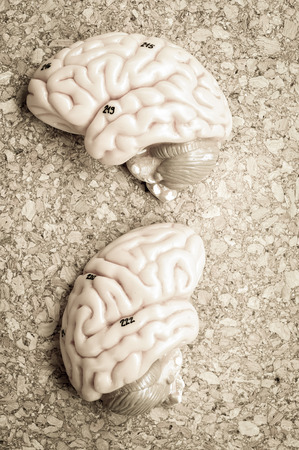 oblongata: human brain model with old color style Stock Photo