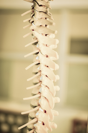 spinal adjustment: human back bone model with old color style Stock Photo
