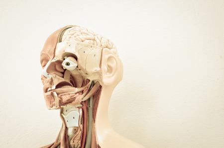 corpo umano: Modello anatomia umana con il vecchio stile di colore